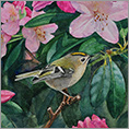 In the Pink (Goldcrest)