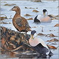 The Object of their Desire (Eider Ducks)